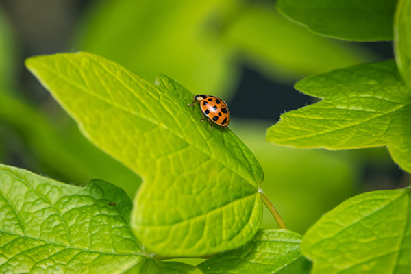 Asian Lady Beetle2
