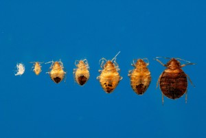 Bed Bug Stages