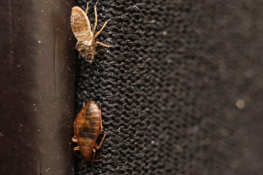 Bed Bugs on Fabric