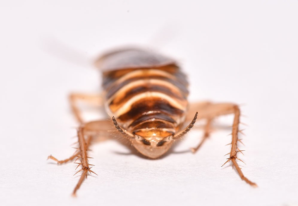 Brown Banded Roach