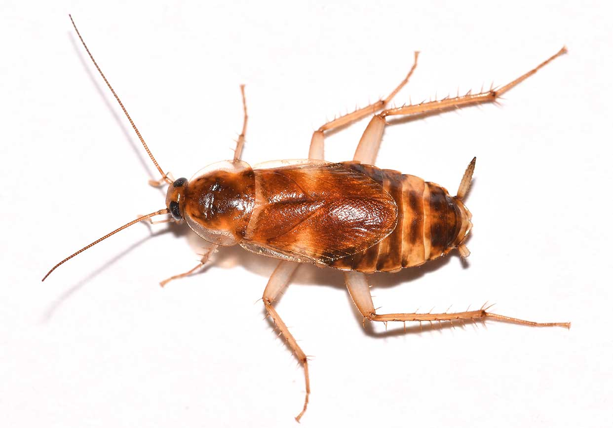 Brown Banded Cockroach Control - Plunkett's Pest Control