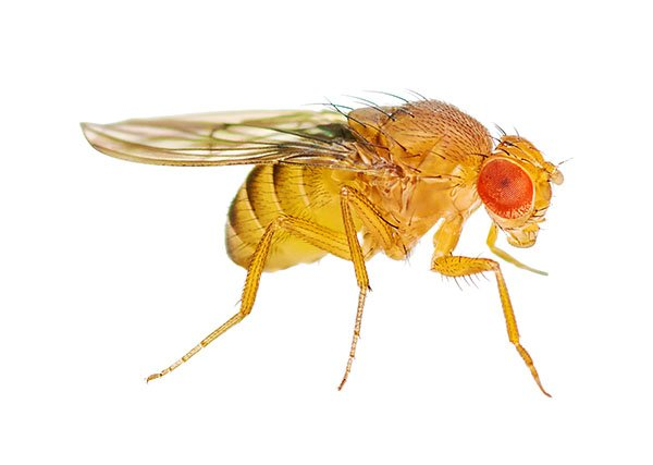 Fruit Fly2