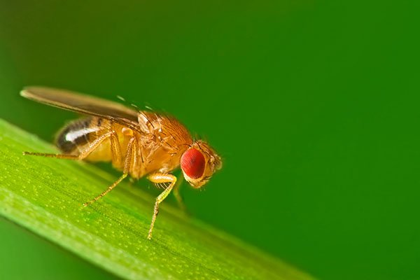 Fruit Fly3