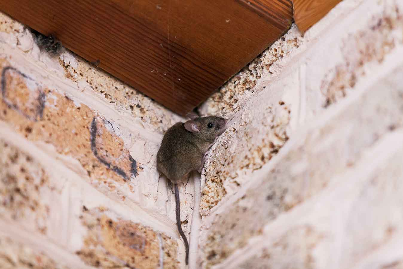 House Mouse Climbing