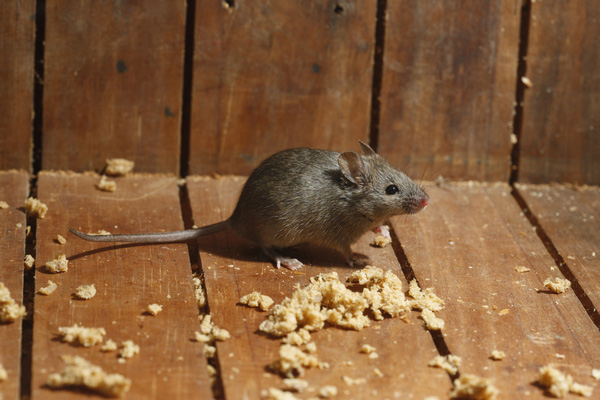 House Mouse Control
