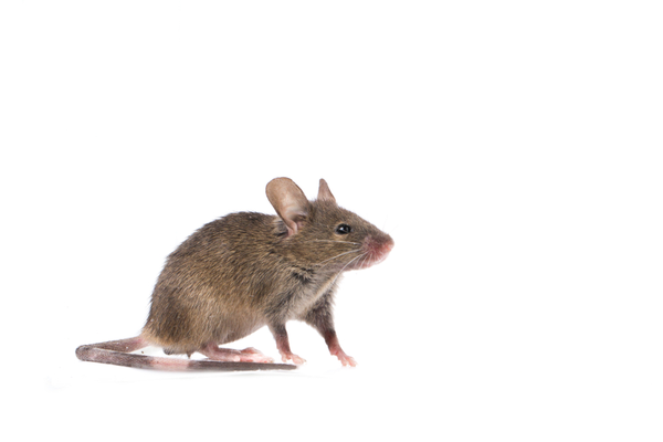 common house mouse