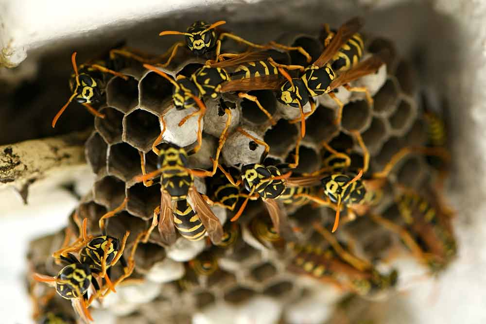 Pest Yellow Jackets On Nest