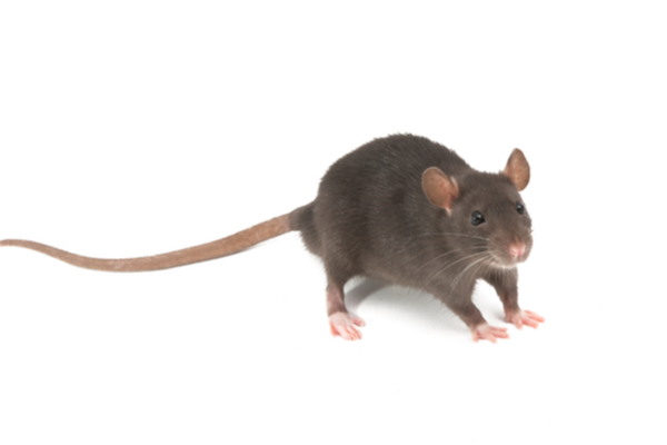 common house rat