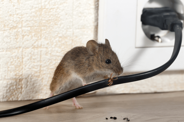 rodent gnawing electric wire