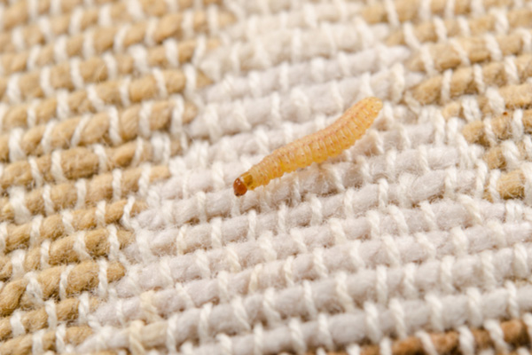 Webbing Clothes Moth Larvae