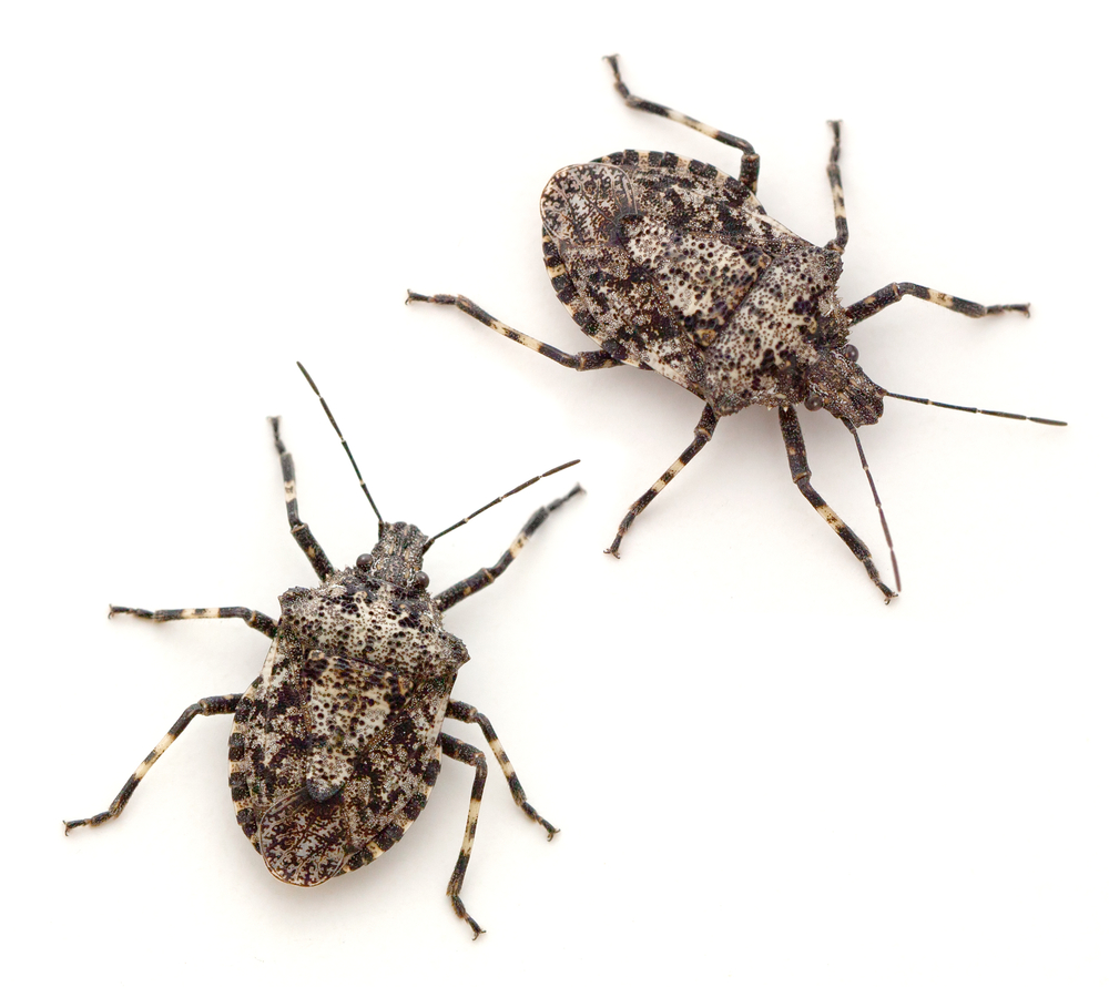 invasive stink bug