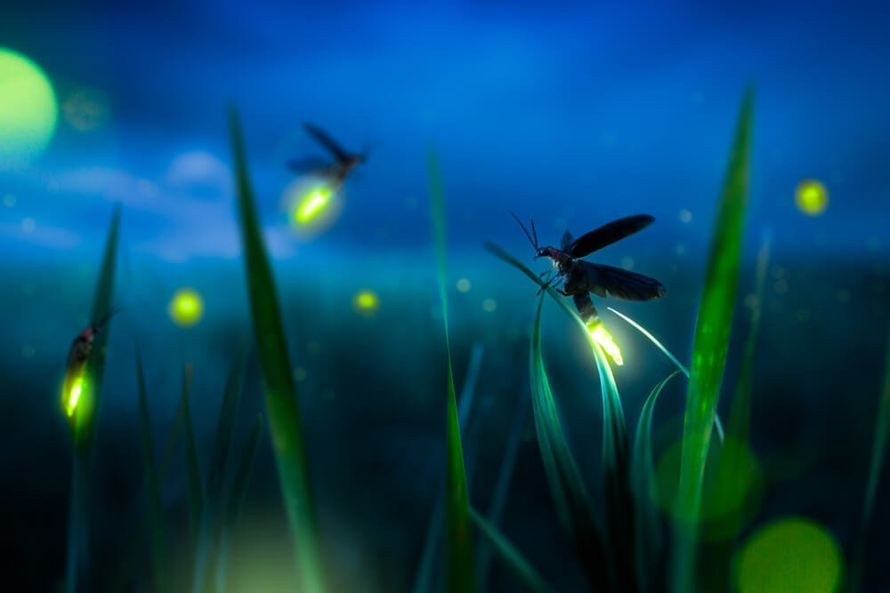 fireflies night