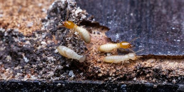 When Are Termites Active Plunkett S Pest Control