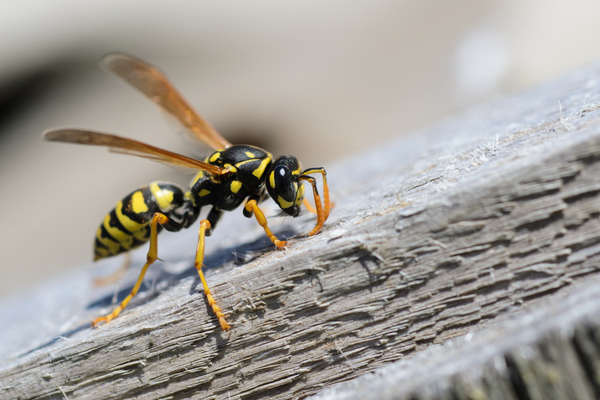 wasp identification