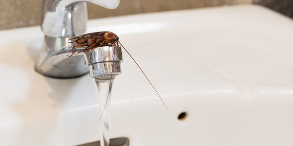 earwig on sink