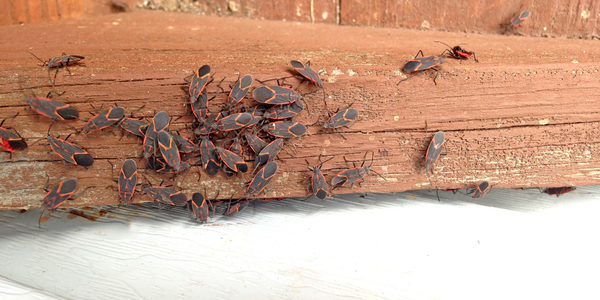 box elder bug home infestation