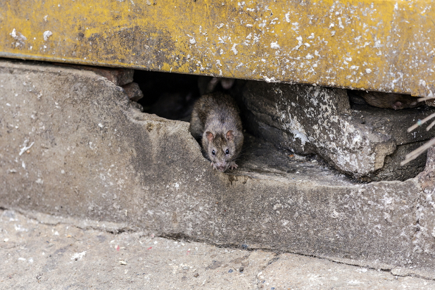 Rat coming out of crack in cement wall