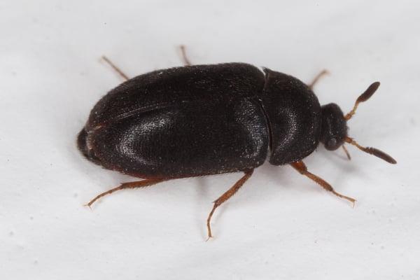 Black Carpet Beetle Control Plunkett S Pest Control