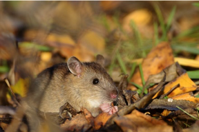 Close up of a mouse in fallen leaves.