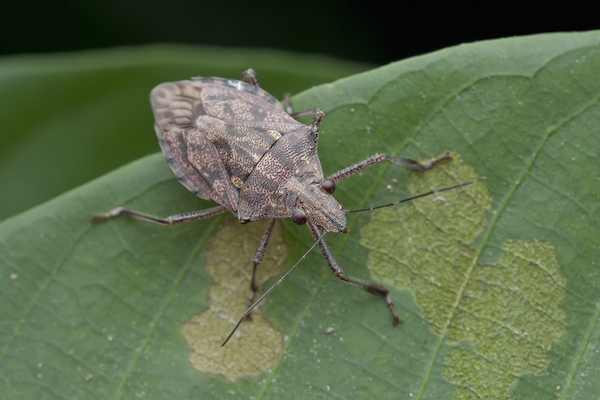 stink bug on leaf