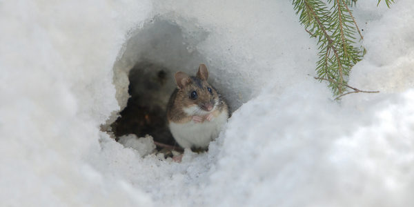 field mouse in winter