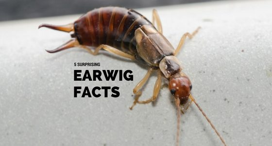 earwig facts