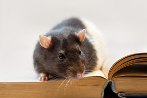 Rat sitting on a book