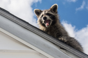 Raccoon sitting on a home roof.