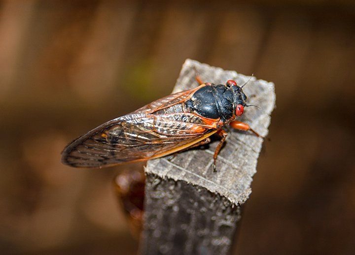 Cicada resting on a wood post