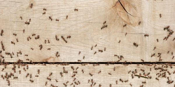 Keeping Ants Out of the Kitchen - Plunkett\'s Pest Control
