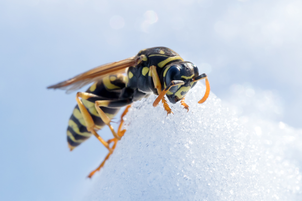 wasps in winter